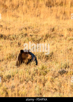 Brown Bear (Grizzly), Ursus arctos, Hayden Valley, Yellowstone National Park, Wyoming, USA