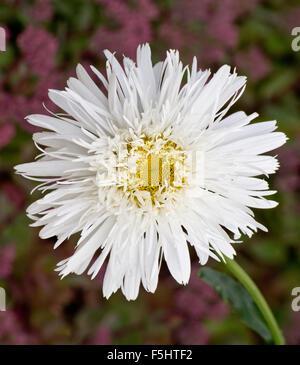 Leucanthemum Sante - Stock Photo