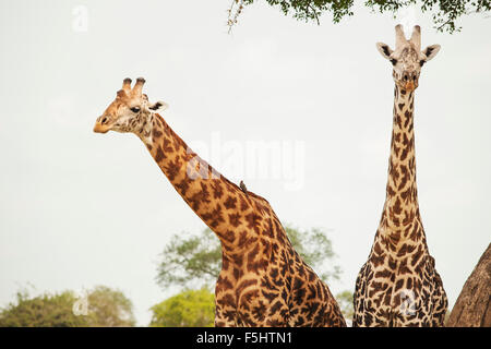 Africa, Tanzania, Mikumi national park, Portrait of two giraffes (Giraffa camelopardalis) - Stock Photo
