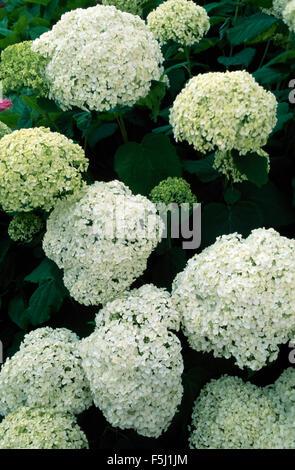 Close-up of Hydrangea Annabelle - Stock Photo