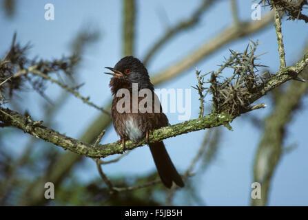 Dartford Warbler (Sylvia undata) adult male singing New Forest Hampshire - Stock Photo