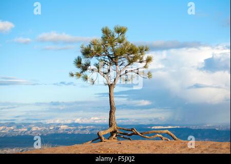Lone pine tree on the edge of Bryce Canyon, Utah, USA. - Stock Photo