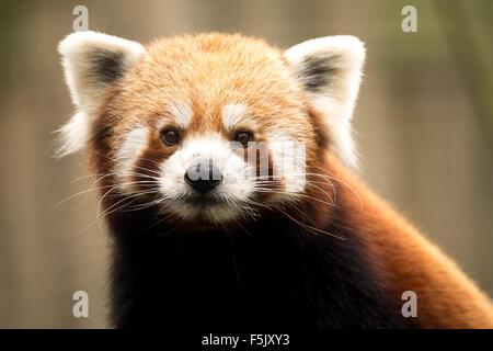 close up portrait of small Red panda (Ailurus fulgens) - Stock Photo