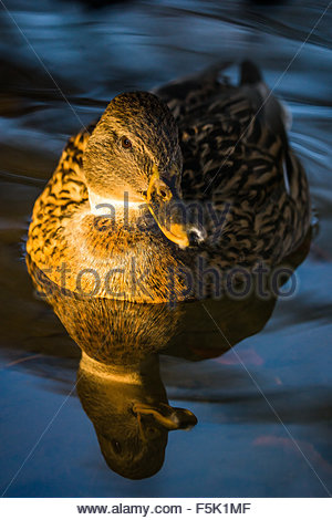 Mallard - wild duck - Anas platyrhynchos - female - Stock Photo
