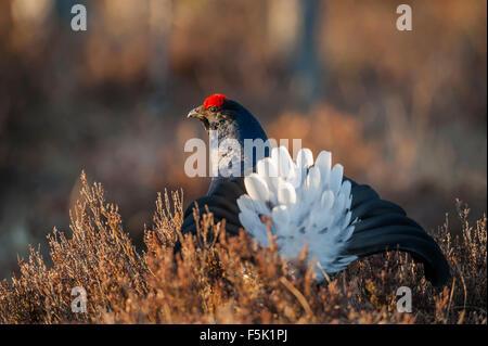 Black grouse - Stock Photo