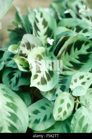 Close-up of a Maranta leuconeura - Stock Photo