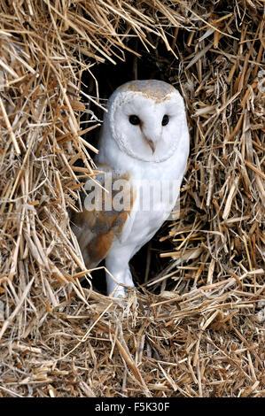 Barn owl (Tyto alba) in haystack / straw bale in barn - Stock Photo