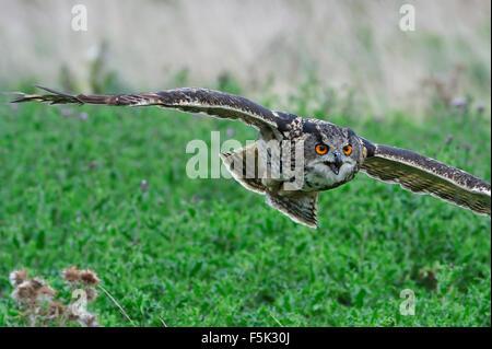 Close up of Eurasian eagle-owl / European eagle owl (Bubo bubo) flying over meadow - Stock Photo