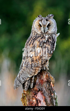Long-eared owl (Asio otus) perched on tree stump in meadow at forest's edge - Stock Photo