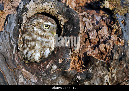Little owl (Athene noctua) looking through nest hole in old tree - Stock Photo