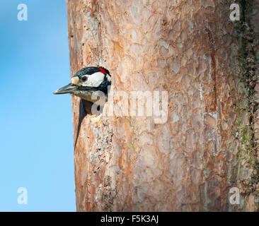 Greater spotted woodpecker - Stock Photo