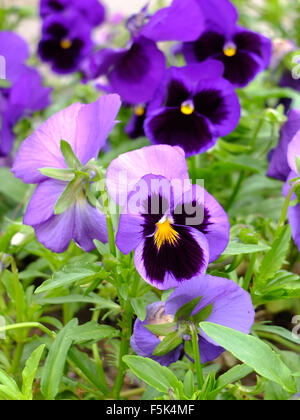 Violets in the garden - Stock Photo