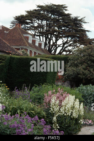 Blue geraniums and white perennials in border in garden with a clipped hedge and a cedar tree - Stock Photo