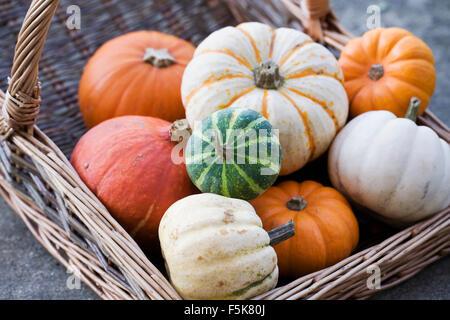 Cucurbita maxima. Basket of assorted squashes and pumpkins. - Stock Photo