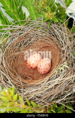 a birds nest with two eggs in the tree - Stock Photo