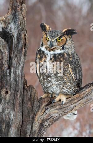 Great Horned Owl Bubo virginianus perched on stump Eastern N America, by Skip Moody/Dembinsky Photo Assoc