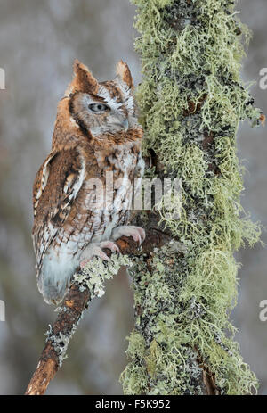 Eastern Screech Owl, Red phase (Megascops asio) sitting on lichen-covered branch, North America - Stock Photo