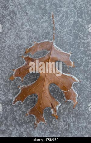 Swamp Oak leaf (Quercus spp) frozen in ice. E. North America - Stock Photo