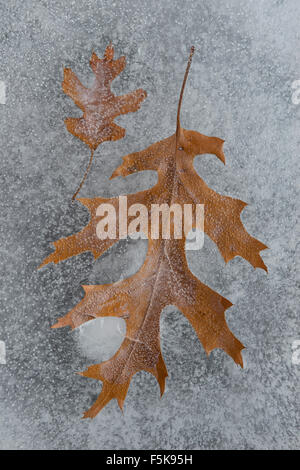 Pin Oak leaves  (Quercus palustris) frozen in ice, Winter, E. North America - Stock Photo