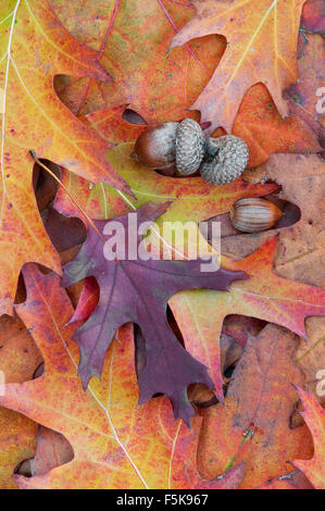 Autumn Leaves, Pin Oak and acorns,( Quercus palustris) Eastern North America - Stock Photo