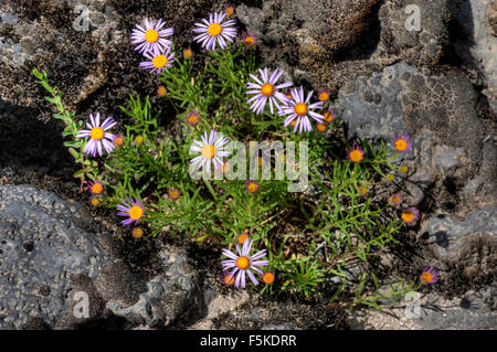 Some blue/purple asters of an unknown species growing next to the upper Rogue River in southern Oregon. - Stock Photo