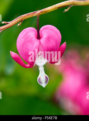 One of the most beautiful plants I have seen. This flower known as the Bleeding Heart does not bloom for long. - Stock Photo