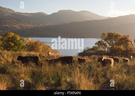 Herd of highland cattle above Loch Katrine in autumn at sunset, Scotland, UK - Stock Photo