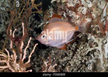 Boarfish, Boar-fish, Eberfisch, Ziegenfisch, Capros aper, Sanglier - Stock Photo