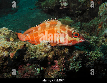 blacktip grouper (Epinephelus fasciatus) perched on coral in Bali Sea, Indonesia - Stock Photo
