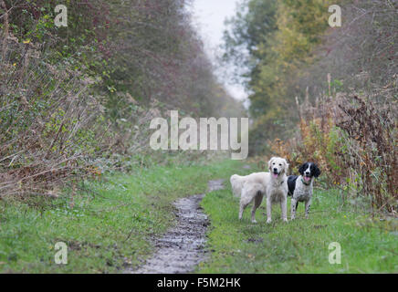 a Golden Retriever and springer spaniel working dogs - Stock Photo