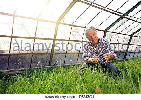 Senior man in hothouse checking quality of plants - Stock Photo