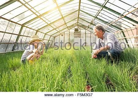 Granddaughter using smartphone to take photograph of grandfather in hothouse full of chives - Stock Photo