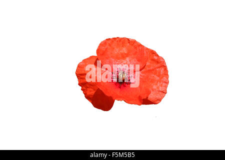 Common red poppy, Papaver rhoeas, isolated on a white background that could be used in connection with a remembrance - Stock Photo