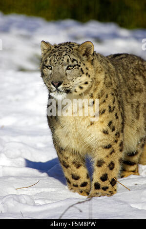 Snow Leopard or Ounce, uncia uncia, Adult standing on Snow - Stock Photo
