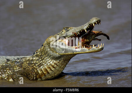 Spectacled Caiman, caiman crocodilus, Adult Catching Fish, Los Lianos in Venezuela - Stock Photo