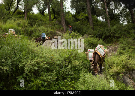 India, Himachal Pradesh, Shimla, pack horses bringing crop of apples from orchard to the road - Stock Photo