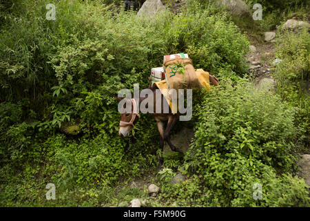 India, Himachal Pradesh, Shimla, pack horse bringing crop of apples from orchard to the road - Stock Photo