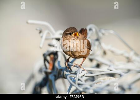 Fair Isle wren (troglodytes troglodytes fridariensis) on metal fence, Fair Isle, Shetland, United Kingdom - Stock Photo