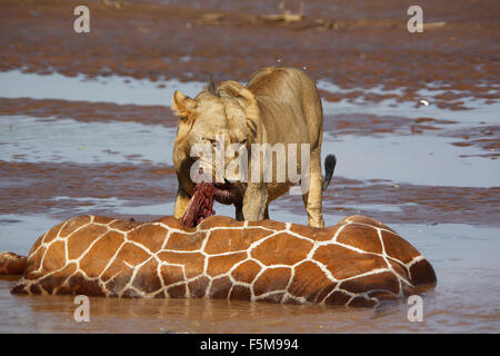African Lion, panthera leo, Young Male  Eating Reticulated Giraffe Stuck and Drown in River, Samburu Park in Kenya - Stock Photo