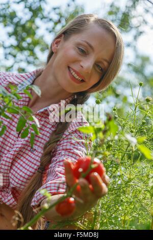 Mid adult woman in garden, picking tomatoes - Stock Photo