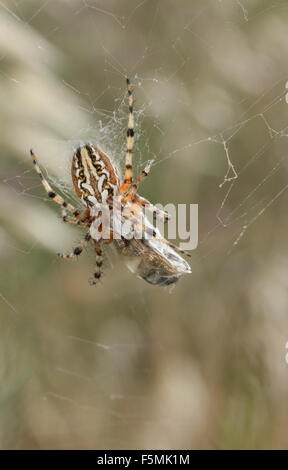 Macro of a spider sp. Aculepeira ceropegia packing its pray on its web. - Stock Photo