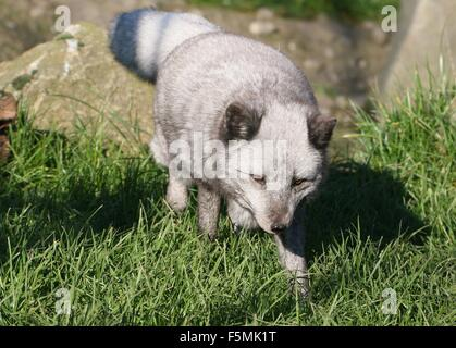 Hunting Arctic or Polar Fox (Alopex Lagopus, Vulpes Lagopus) walking towards the camera - Stock Photo