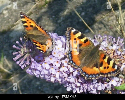 Small tortoiseshell butterflies - Stock Photo