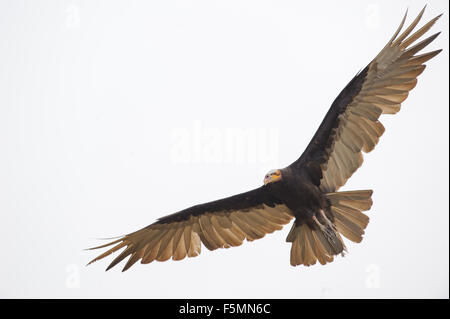 Lesser Yellow-headed Vulture (Cathartes burrovianus) flying, Araras Ecolodge,  Mato Grosso, Brazil - Stock Photo