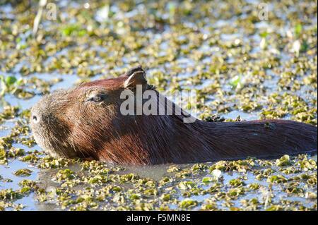 Capybara (Hydrochoerus hydrochaeris) swimming in lake,  The Pantanal, Mato Grosso, Brazil - Stock Photo
