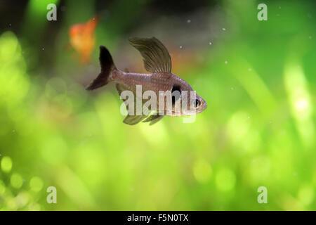 Black phantom tetra (Hyphessobrycon megalopterus) - Stock Photo