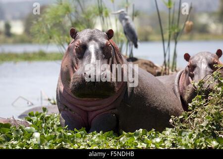 Hippopotamus amphibius half out of water surrounded by water hyacinth  with grey heron behind Lake Naivasha Kenya - Stock Photo