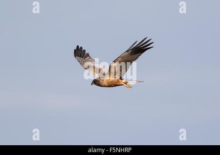 Male Marsh Harrier in flight 2 - Stock Photo