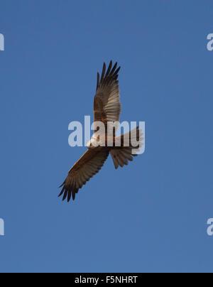 Male Marsh Harrier in flight 1 - Stock Photo