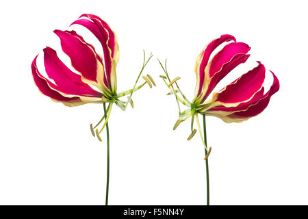 Glory lily flowers - Stock Photo